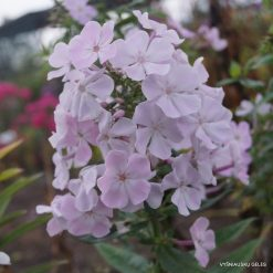 Phlox 'Angelica'