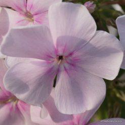 Phlox 'Angelica' (4)