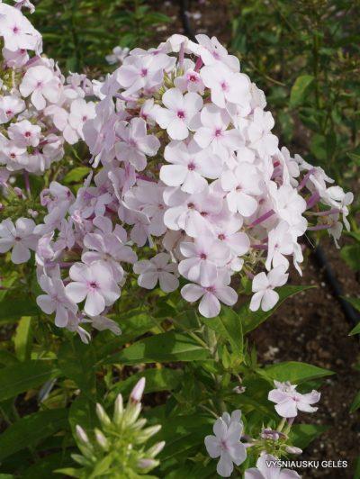 Phlox 'Apfelblüte'