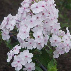 Phlox 'Apfelblüte' (4)