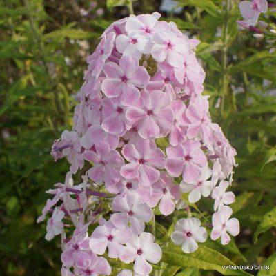 Phlox 'Apfelblüte' (6)