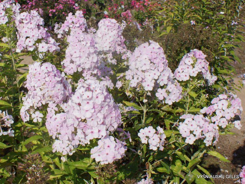 Phlox 'Apfelblüte' (7)