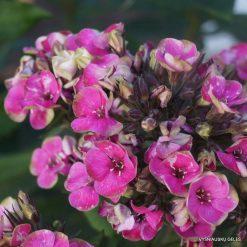 Phlox 'Aureole' (5)