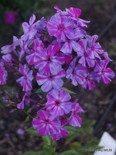 Phlox 'Autumn Joy' (2)