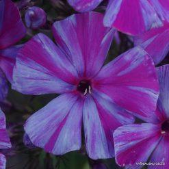 Phlox 'Autumn Joy' (7)