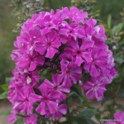 Phlox paniculata B