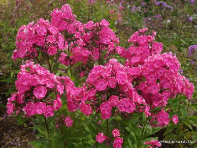 Phlox 'Betty-Marguerite' (2)