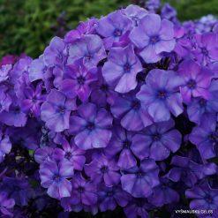 Phlox 'Blauer Morgen'