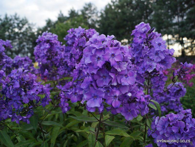 Phlox 'Blue Paradise' (6)