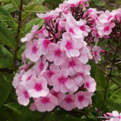 Phlox 'Bright Eyes' (2)