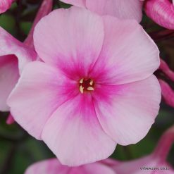 Phlox 'Bright Eyes' (3)