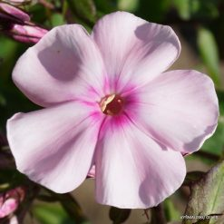 Phlox 'Bright Eyes' (4)