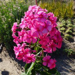 Phlox 'Cherry Pink'