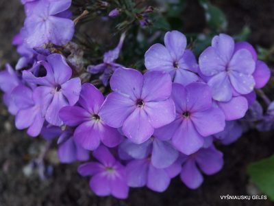 Phlox 'Cool of the Evening' (2)