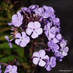Phlox 'Cool of the Evening' (3)