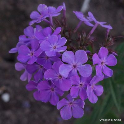 Phlox 'Cool of the Evening'
