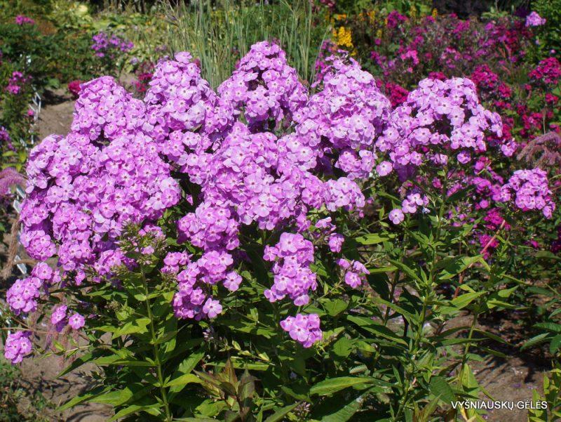 Phlox 'David's Lavender' (5)