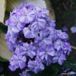 Phlox 'Freckle Blue Shades'
