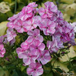Phlox 'Freckle Pink Shades'