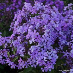 Phlox 'Great Smoky Mountains'