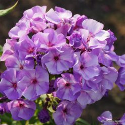 Phlox 'Jeff's Blue'