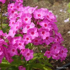 Phlox 'Junior Abundance'