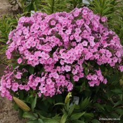 Phlox 'Junior Bouquet'
