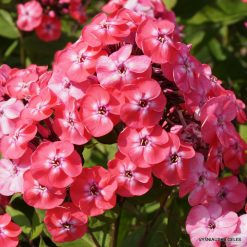 Phlox 'Junior Dance'
