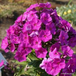 Phlox 'Junior Dream'
