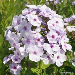 Phlox 'Junior Surprise'