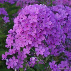 Phlox 'Luc's Lilac'