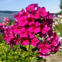 Phlox 'Michele Mercier'