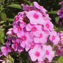 Phlox 'Paris'