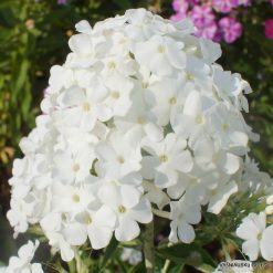 Phlox 'Peacock White' (2)