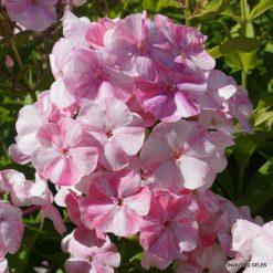 Phlox 'Potpourri Pink'