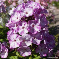 Phlox 'Potpourri Purple'