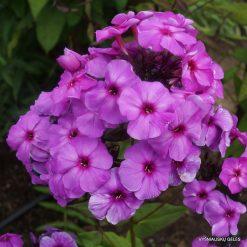 Phlox 'Purple Elite'