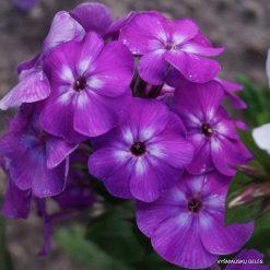 Phlox 'Purple Kiss'