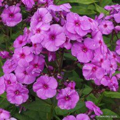 Phlox 'Purple Paradise'