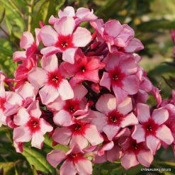 Phlox 'Red Carribean'