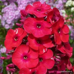 Phlox 'Red Flame'