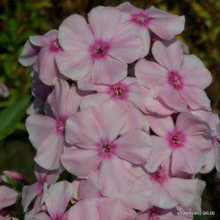 Phlox 'Rosa Pastel'