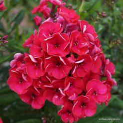 Phlox 'Strawberry Daiquiri'