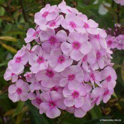 Phlox 'Sweet Summer Favourite'