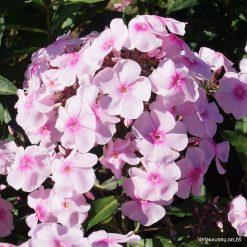 Phlox 'Sweet Summer Sensation' (2)