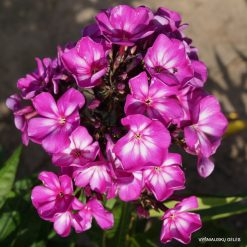 Phlox 'Sweet Summer Surprise'