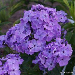 Phlox 'Violet Flame'