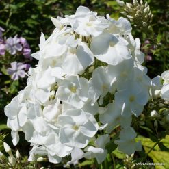 Phlox 'Younique White'
