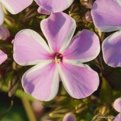 Phlox 'All in One' (5)