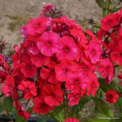 Phlox 'Peacock Cherry Red'